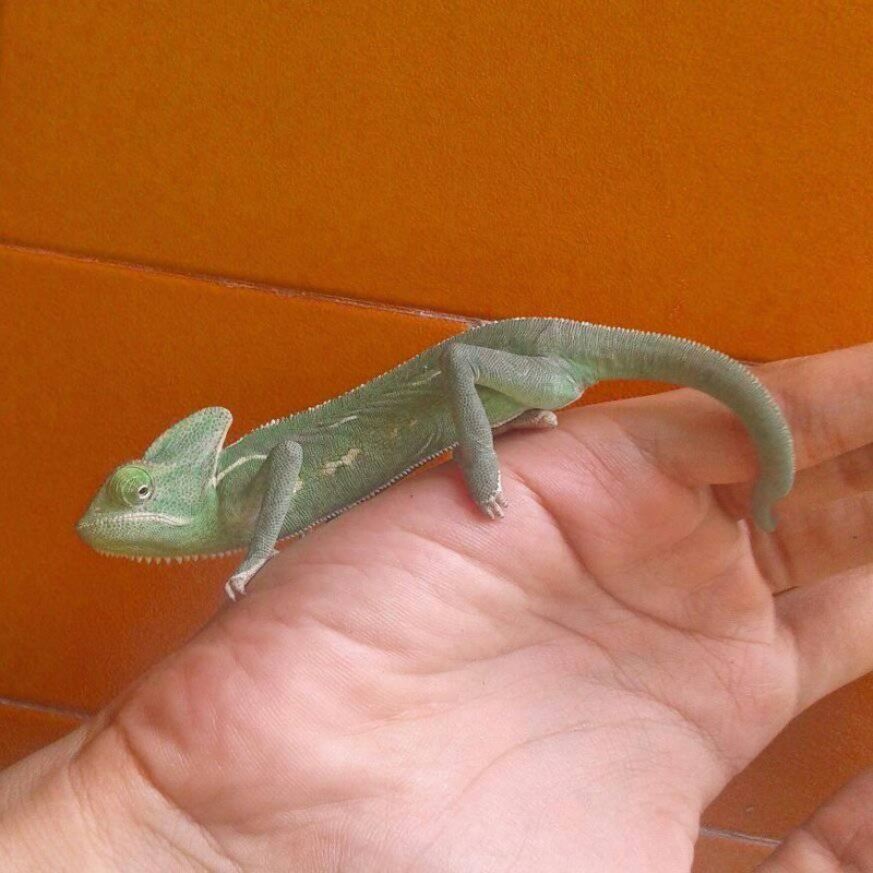 veiled chameleon baby up